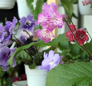 Цветы стрептокарпусы: секреты ухода и правила выращивания