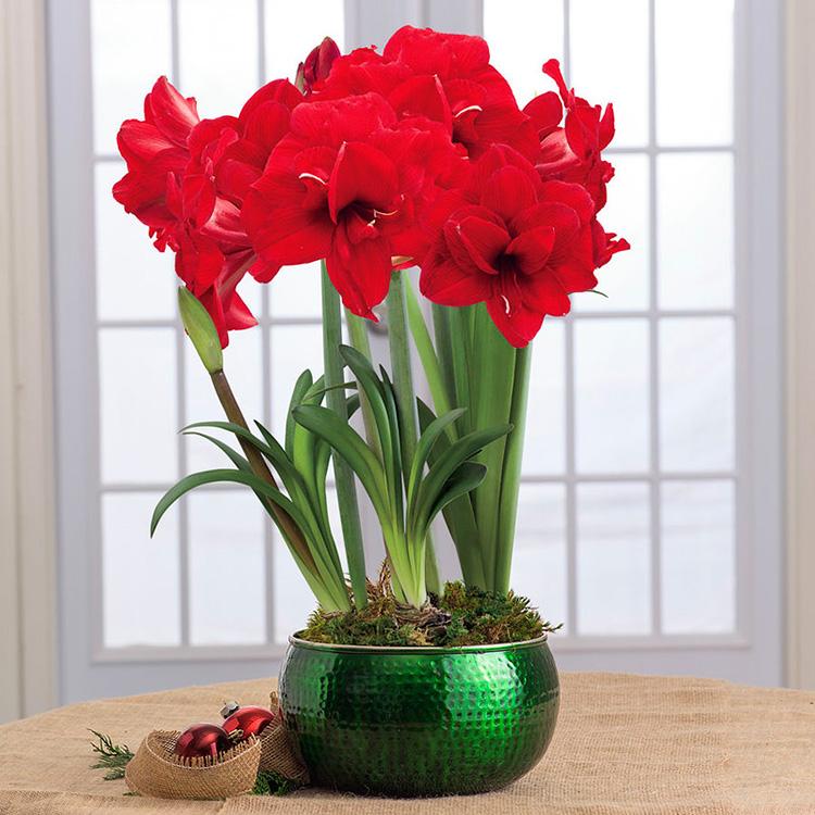 Создаём цветущий рай, или Как организовать правильный уход за гиппеаструмом в домашних условиях
