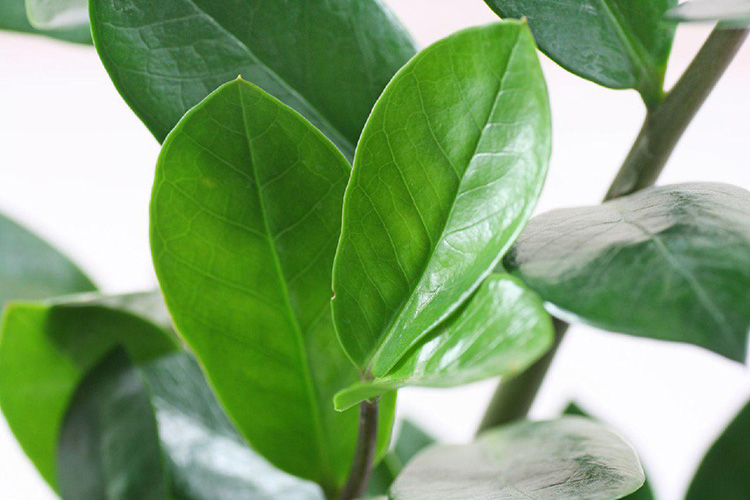 «Долларовое дерево» или замиокулькас – уход в домашних условиях