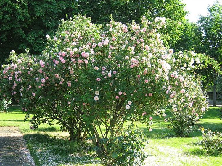 Сохраняя лучшее: уход за розами осенью и качественная подготовка к зиме