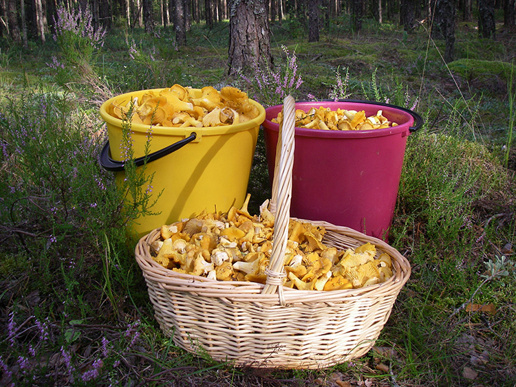 Охотимся на лисичку! Фото гриба и рекомендации по выращиванию на приусадебном участке