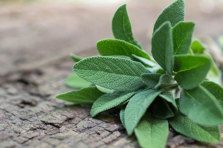 Природный лекарь для всей семьи − шалфей: лечебные свойства и противопоказания