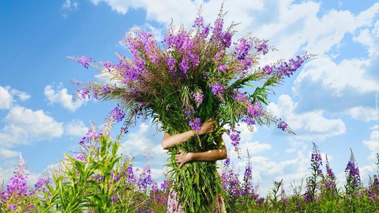 Трава иван-чай: лечебные свойства и противопоказания