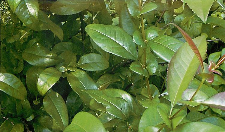 Японская айва: польза и вред для здоровья