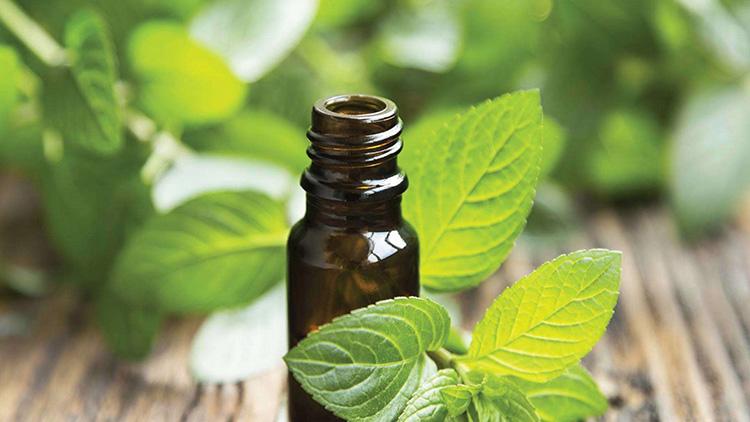 Освежающая и ароматная мята перечная: лечебные свойства и противопоказания