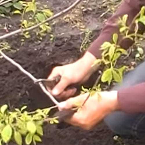 Узнаём и открываем новое: как растёт хурма