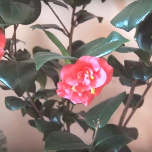 Цветок камелия: фото и основы правильного ухода в домашних условиях