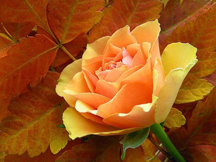 Создаём настроение в саду: осенние цветы, их фото и названия