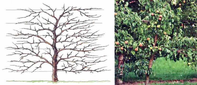 Как правильно обрезать яблоню: инструкция для начинающих в картинках