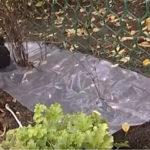 Неприхотливый клематис: уход осенью, подготовка к зиме