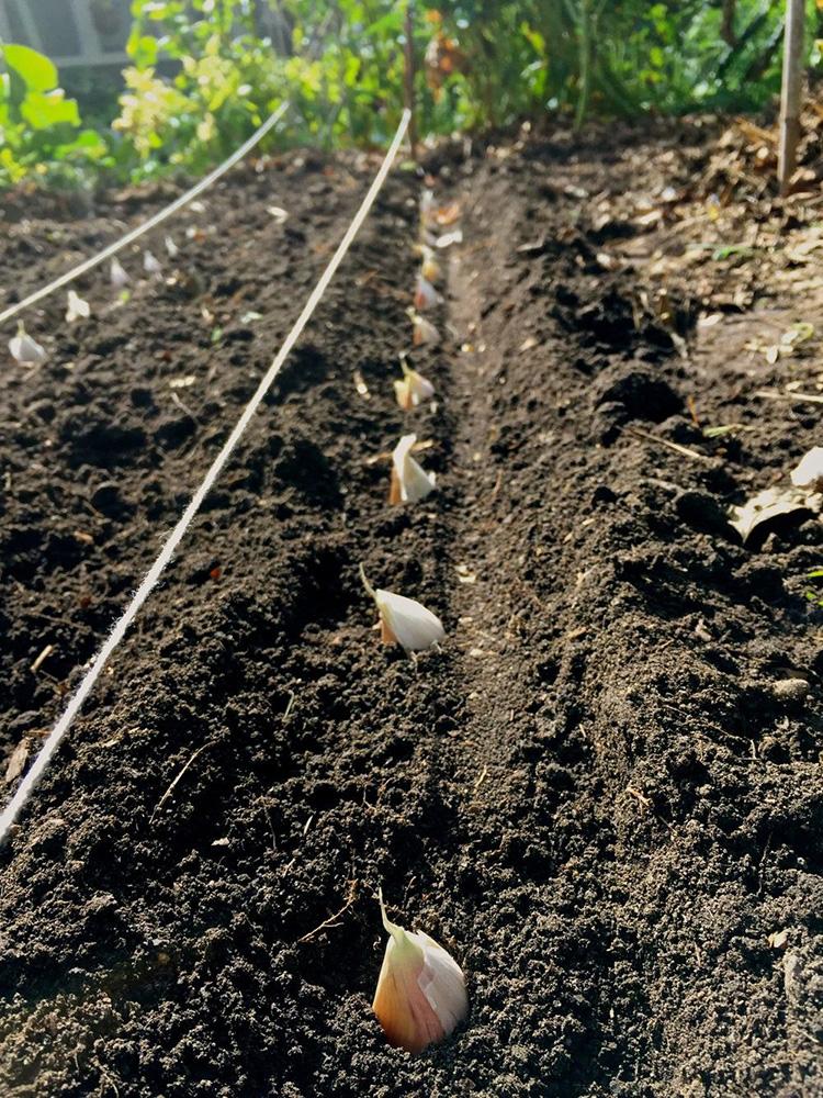 На какую глубину нужно сажать чеснок на зиму, чтобы он вырос сочным и крупным