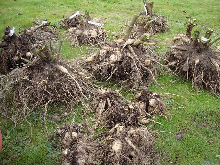 Секреты цветущего сада: когда выкапывать и как хранить георгины зимой, чтобы сохранить посадочный материал