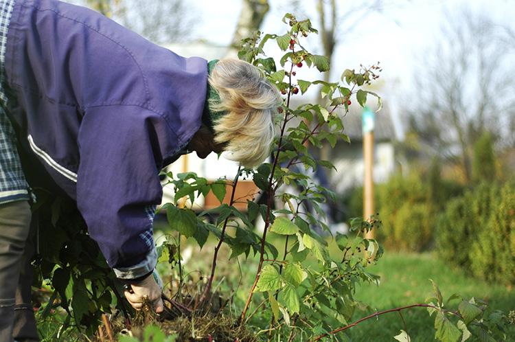 Ремонтантная малина: правильный уход осенью и секреты подготовки к зиме