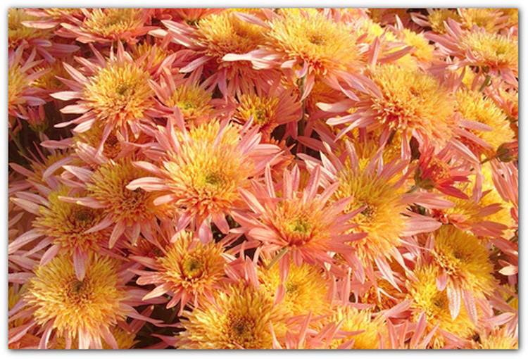 Яркий акцент вашего сада − многолетняя хризантема. Посадка и уход, фото и описание цветка