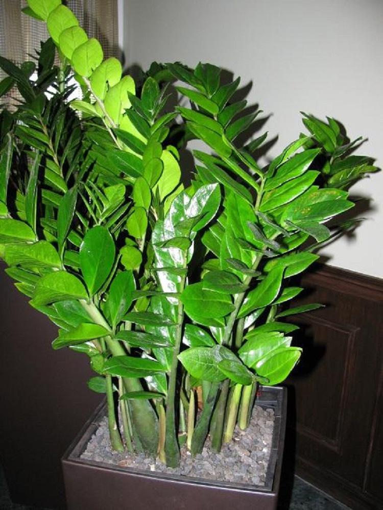 Размножение долларовое дерево уход в домашних условиях 112