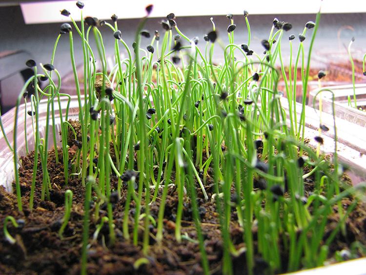 Секреты выращивания зелёного лука − как растёт ваше здоровье на грядке и подоконнике