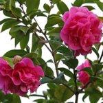 Камелия японская комнатная: уход в домашних условиях