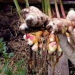 Пряная культура имбирь: как вырастить в домашних условиях, посадка и уход