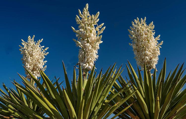 Цветущая пальма юкка: уход в домашних условиях