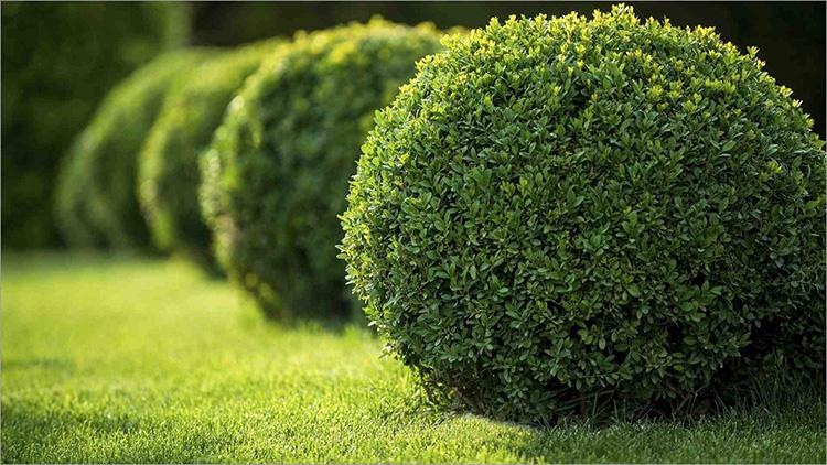 Живая изгородь: как создать модный образ для зелёного забора в российском климате