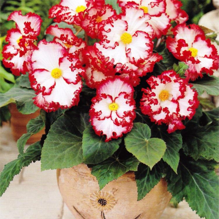 Секреты выращивания клубневой бегонии: посадка, уход и что делать осенью