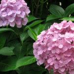 Обрезка гортензии осенью и весной