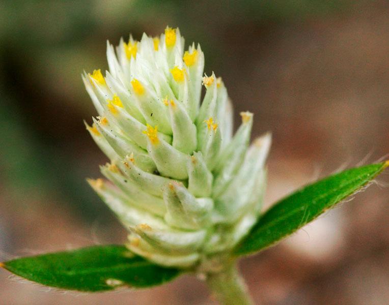 Гомфрена: травянистые растения для открытого грунта