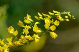 Желтые цветки, веточка