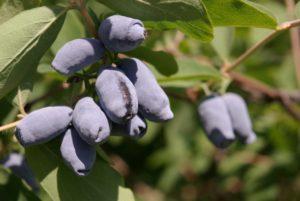 Синие ягоды