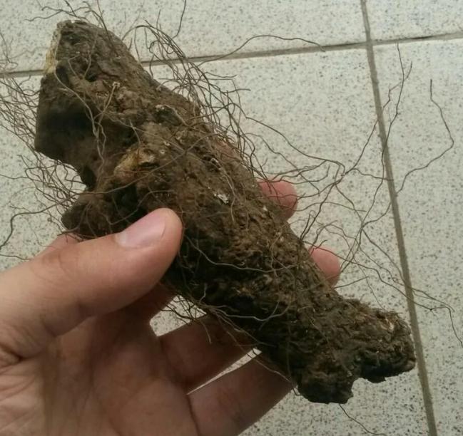 Адамов корень - все лечебные свойства и способы применения
