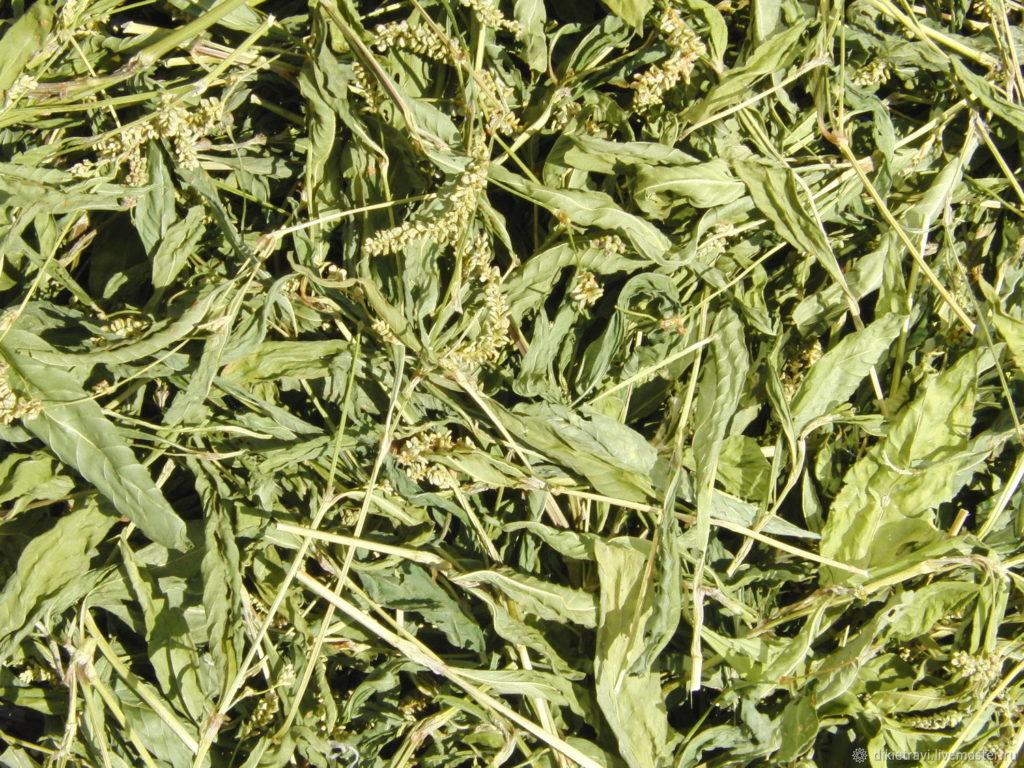 Горец перечный (Polygonum hydropiper L.)