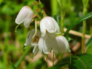 Цветки грушанки