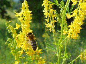 Желтый цветок, пчела