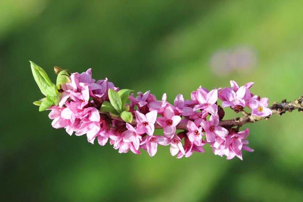 Цветы волчеягодника