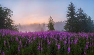 Поле, деревья, цветы, рассвет