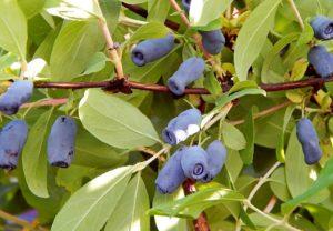 Синие ягоды жимолости, листья, куст