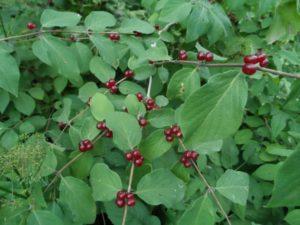 Красные ягоды, листья