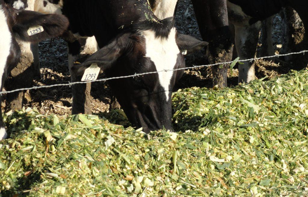 Растение Амарант из семейства амарантовых: полезные лечебные свойства