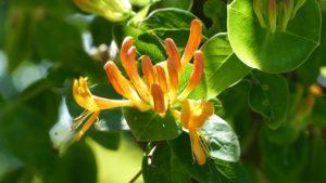 Цветок, листья, куст