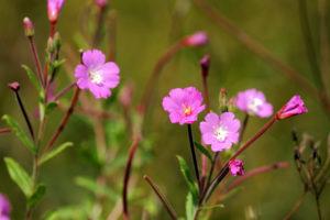 Цветки розовые, листья