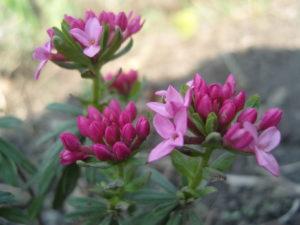 Розовые цветы волчника
