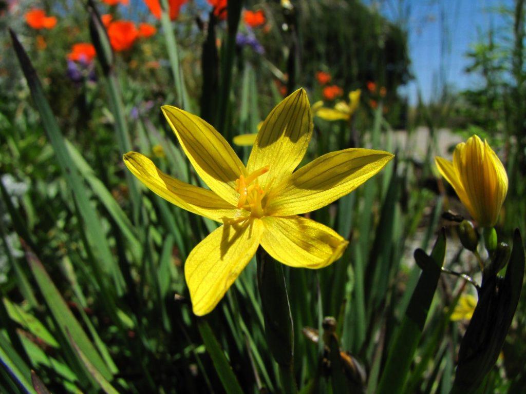 Голубоглазка узколистная (лат. Sisyrinchium angustifolium)