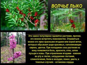 Растение волчеягодник, перечень симптомов отравления