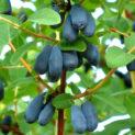 Листья, синие ягоды