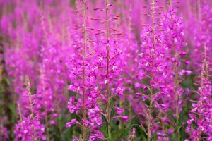 Поле, сиреневые цветы