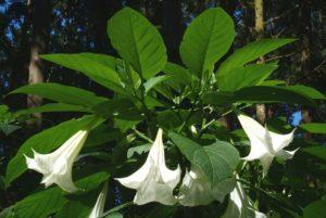 белые цветы большие, зеленые листья
