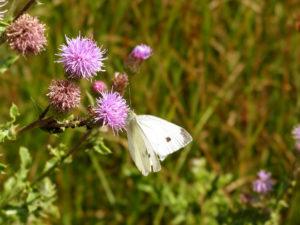 лиловые цветы, бабочка, поле