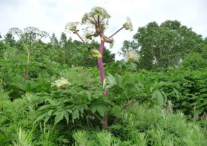 высокое растение, лес