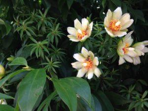 белые цветы с оранжевой серединой, зеленая листва