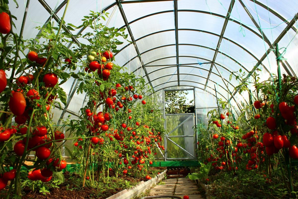 Тепличные помидоры пользы при сахарном диабете будет не много.